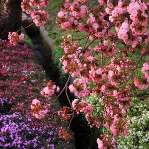 芝桜と八重桜