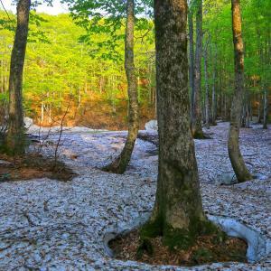 残雪のおみたけ山ブナ林