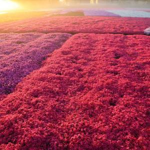 朝霧の芝桜園