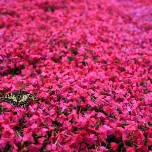 芝桜にアゲハチョウ