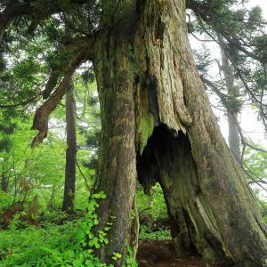 霧の中の追分の一本杉