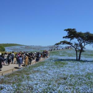 ネモフィラが咲く国営ひたち海浜公園(5月8日)