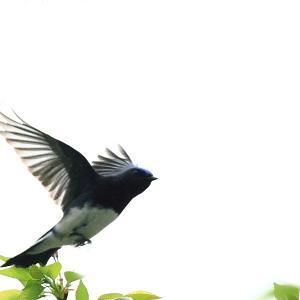 きれいなオオルリ♂の尾羽
