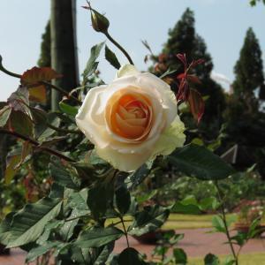 今秋のバラ