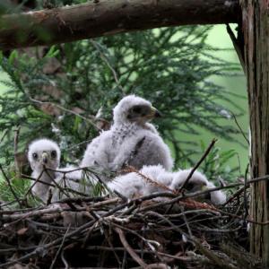 孵化から3週間後のヒナ