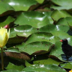 睡蓮の花と ヒナ