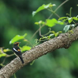 キビタキ ♂♀幼鳥