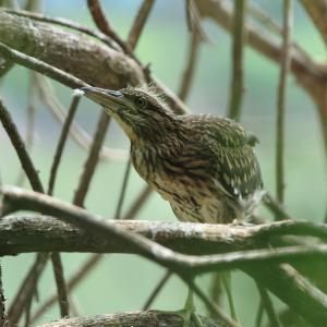ホシゴイ 幼鳥と若鳥