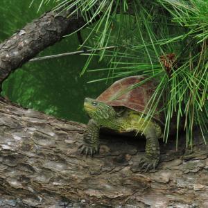亀とマツとレンカク