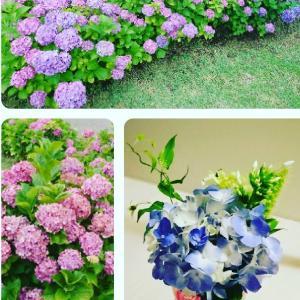 時と共に色が変化する紫陽花と花言葉