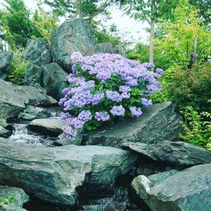 紫陽花と流水