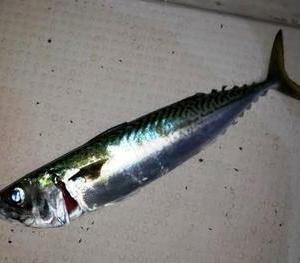 魚見つけられず