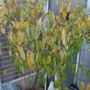 葉っぱの残っている梅の木