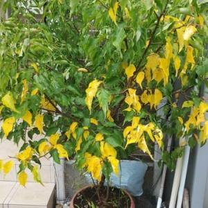梅の木の葉っぱ