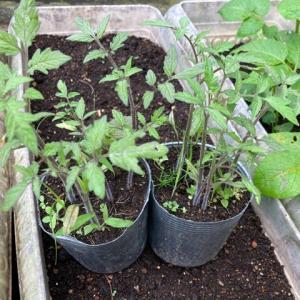 トマトの植え替え