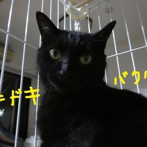 ☆「糸ちゃん」福島被災猫  フォスターペアレント様 ありがとう