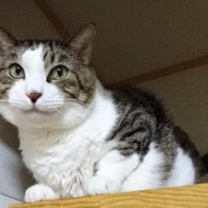 ☆ヨウカン君(福島富岡町保護被災猫 猫エイズ・白血病ダブルキャリア )フォスターペアレント様 ありがとう