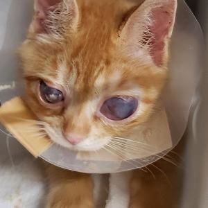 ☆クリボーの願い(2) TNR日本動物福祉病院で、眼球摘出手術を受けました。 飼い主のいない猫たちの医療に温かいご支援をお願い致します。