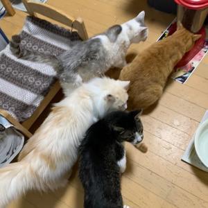 ☆オスカー(東日本大震災被災猫 大熊町保護) フォスターペアレント様 ありがとう