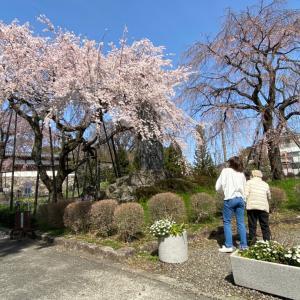 東郷寺枝垂れ桜
