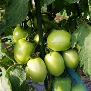 ナス、トマト、ピーマン、ぼちぼち収穫開始
