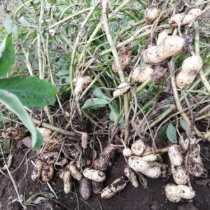 落花生の収穫