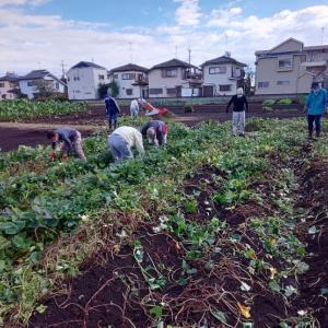 10月24日 本日は明日の芋掘りに向けてさつまいもの蔓を刈り取りました