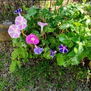 7月27日 台風8号の進路が逸れたことも知らず、自宅の朝顔が綺麗に咲いています