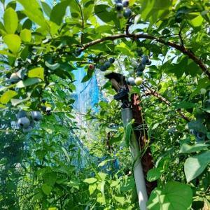 8月1日 本日はブルーベリーの摘み取りに行きました