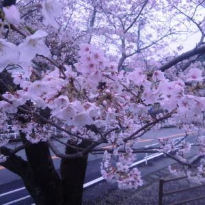 桜満開になりました