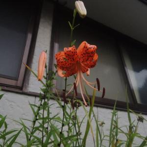 鬼百合が咲き始めました