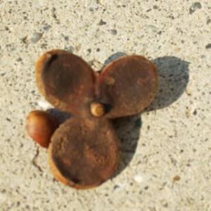 椿の実とミッキーマウス