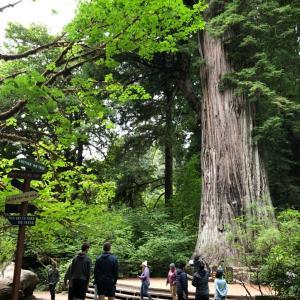 ビッグツリー、そして世界で一番高い木の場所は(・∀・)