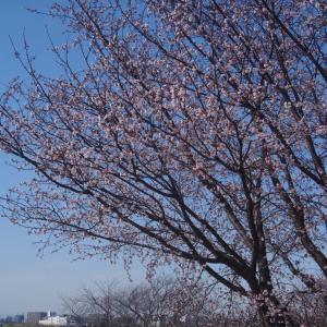 2021年 2月桜咲く