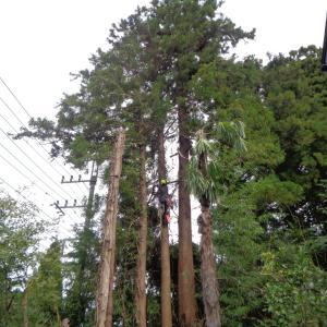 今月に入って3日目の木こり仕事 - 斜面に立つ杉の伐採