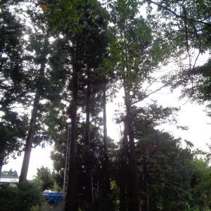 杉の伐採作業無事終了、久々に都会!?に行って疲れた・・・
