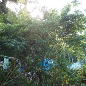 梅の収穫 & 梅酒、梅シロップ作り 梅はタダでもらいました!
