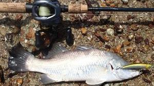 Barramundi #1190-1191 Yo-zuri Pin's Minnow 90mm Mr. Randal Lewis 60cm Barramundi