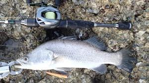 Barramundi #1183-1184 Yo-zuri Pin's Minnow 90mm 81cm Barramundi by Mr. Matt Cook