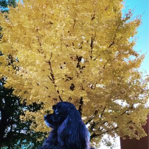 銀杏並木とお知らせ