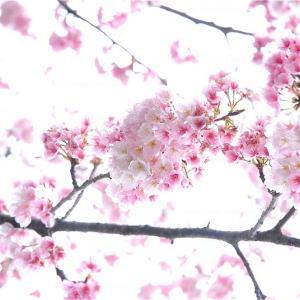 200329 今年も桜開花