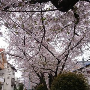 呑川遊歩道と碑文谷八幡の桜