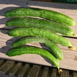 4月末に植えたキウリの苗本で50個のキウリの収穫ができました。