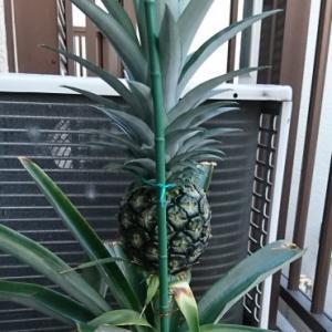 食べたパイナップルのヘタからベランダで育ててきたパイナップルの茎を折ってしまいました