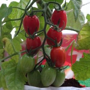 トマト用土の袋に植えたベランダ菜園のミニトマトの接ぎ木苗が順調に成長 収穫を開始