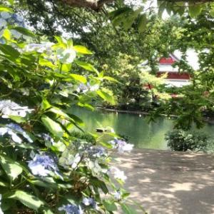 井之頭公園を散策 アジサイ、スワンボート、神田川の源流