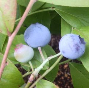 ラビットアイ系のブルーベリーのティフブルーとパウダーブルーの実が色付き収穫できそうになってきました