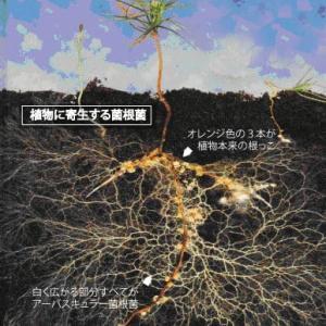 【家庭菜園】 菌根菌の世界。1。