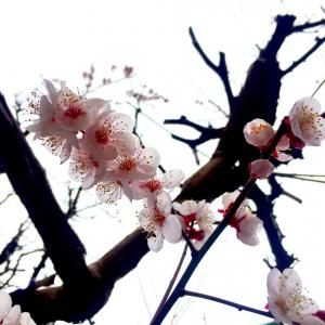 可愛く可憐だった梅よ、さようなら。( ´Д`)y━・~~