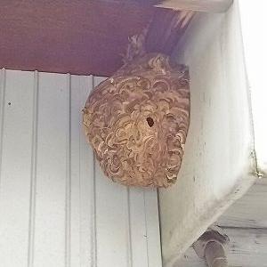ハチの巣出現!